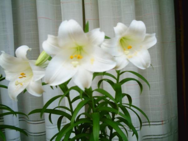 Fiori - Gigli bianchi 02