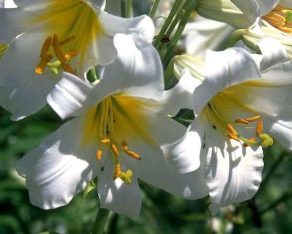 fiori -gigli-bianchi