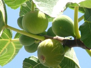 fico-frutti