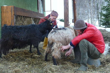 pettinare le pecore